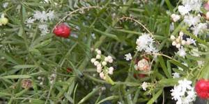 Spotlight on herbs: Asparagus racemosus (Shatavari, Wild asparagus)